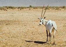 羚羊,阿拉伯羚羊属(羚羊属leucoryx) 库存照片