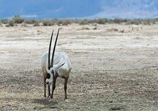 羚羊,阿拉伯羚羊属 免版税图库摄影