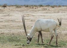羚羊,阿拉伯羚羊属 库存照片