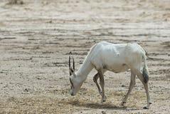 羚羊,阿拉伯羚羊属 免版税库存照片