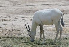 羚羊,阿拉伯羚羊属 图库摄影