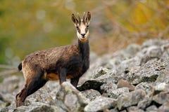 羚羊, Rupicapra rupicapra,在绿草,灰色岩石在背景, Gran Paradiso,意大利中 动物在阿尔卑斯 野生生物场面 免版税库存图片
