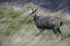 羚羊, Rupicapra rupicapra 免版税库存照片