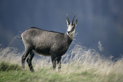 羚羊, Rupicapra rupicapra 库存图片