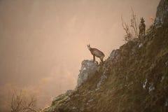 羚羊, Rupicapra rupicapra 免版税库存图片