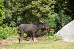 羚羊(拉特。rupicapra rupicapra) 库存照片