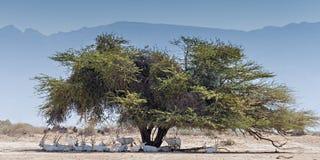 羚羊-阿拉伯羚羊属休息的牧群  库存图片