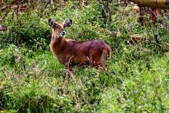 羚羊 免版税图库摄影