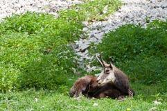 羚羊 免版税库存图片