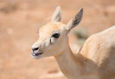 年轻羚羊 免版税库存照片