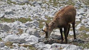 羚羊 库存图片