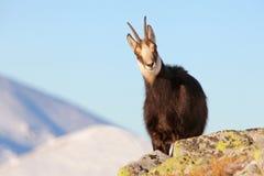 羚羊- rupicapra, Tatras 库存照片