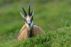 羚羊- rupicapra rupicapra 库存照片