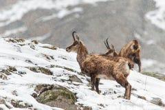 羚羊(Rupicapra rupicapra)在重的冬天 免版税库存图片