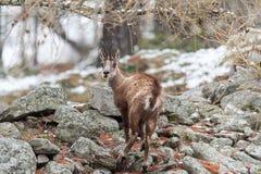 羚羊(Rupicapra rupicapra)在阿尔卑斯 免版税库存照片
