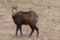 羚羊(Rupicapra rupicapra)在阿尔卑斯 免版税库存图片