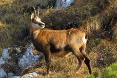 羚羊- rupicapra rupicapra 库存图片