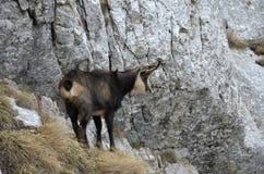 羚羊(Rupicapra rupicapra) 库存图片