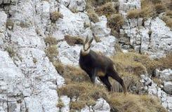 羚羊(Rupicapra rupicapra) 免版税库存图片