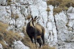 羚羊(Rupicapra rupicapra) 免版税库存照片