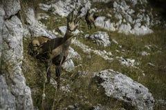 羚羊& x28;Rupicapra rupicapra& x29; 库存图片