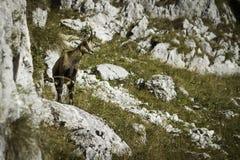 羚羊& x28;Rupicapra rupicapra& x29; 免版税库存照片