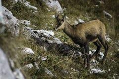 羚羊& x28;Rupicapra rupicapra& x29; 库存照片
