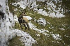羚羊& x28;Rupicapra rupicapra& x29; 免版税库存图片