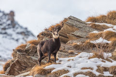 羚羊& x28; Rupicapra rupicapra& x29;在阿尔卑斯 库存照片