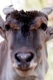 羚羊Alcina -非洲羚羊类羚羊属 免版税库存图片