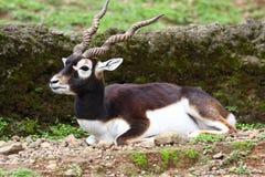 羚羊blackbuck 免版税库存图片