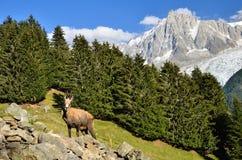 羚羊chamonix法国 免版税库存照片