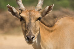 羚羊eland纵向 免版税库存照片