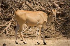 羚羊eland 库存照片