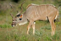 羚羊etosha kudu纳米比亚国家公园 图库摄影