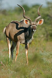 羚羊etosha kudu纳米比亚国家公园 免版税库存图片