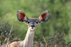 羚羊kudu年轻人 免版税库存照片