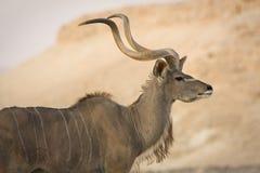 羚羊kudu纵向 库存图片
