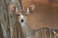 羚羊kudu纵向 免版税库存照片