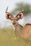 羚羊kudu 图库摄影