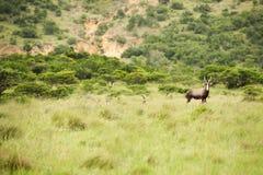 羚羊kudu 免版税库存图片