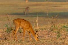 羚羊puku在赞比亚 库存图片