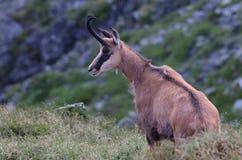 羚羊Rupicapra Carpatica 免版税库存图片