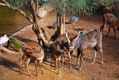 羚羊sitatunga 图库摄影