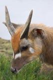 羚羊Sitatunga Marshbuck非洲野生生物 免版税图库摄影
