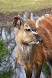 羚羊Sitatunga Marshbuck非洲野生生物 免版税库存照片
