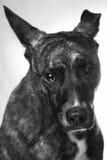羞愧的狗 免版税库存照片