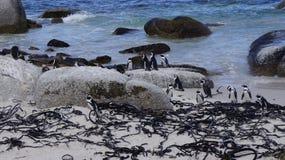 群企鹅在他们的自然生态环境 免版税库存图片