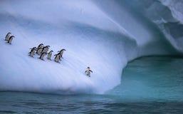 群企鹅接近水 一只企鹅在冰山的倾斜站立在水附近 安德列耶夫 免版税库存照片