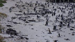 群企鹅,开普敦 免版税图库摄影